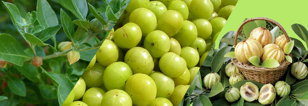 Garcinia-Cambogia-fruits-seeds-and-leaves