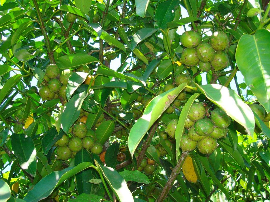 Faqs Garcinia Cambogia