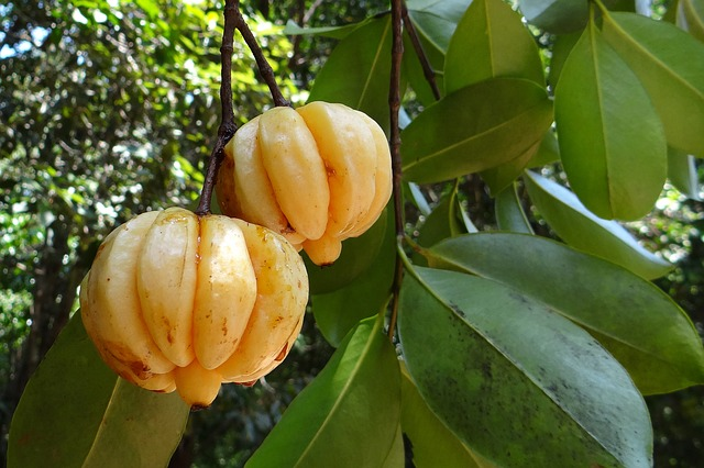 garcinia_fighting_obesity