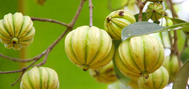 fighting obesity by garcinia cambogia